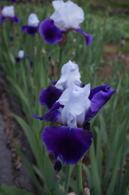 紫ツートンのアヤメ
