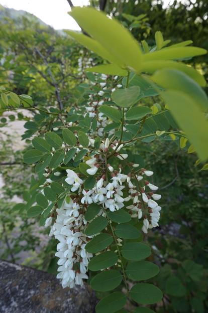 アカシアの花