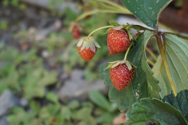 豊作のイチゴ