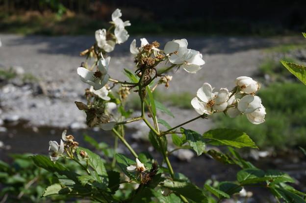 終わりかけの白い花