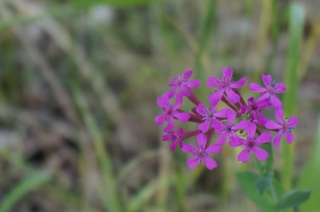 芝桜のような紫の花