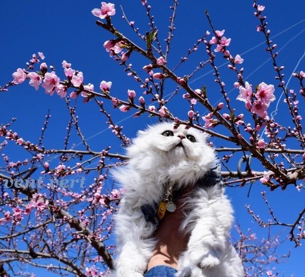 桃の花を見に6