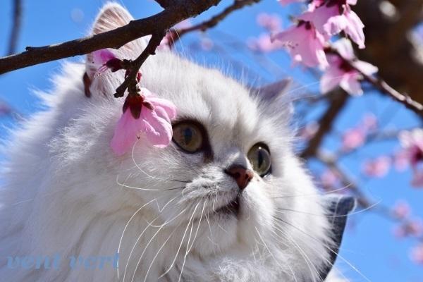 桃の花を見に7