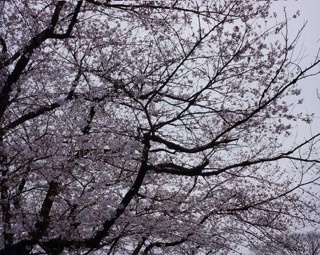 代々木・お花見