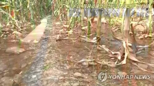 乾燥した北朝鮮のとうもろこし畑(資料写真)=(朝鮮中央テレビ=聯合ニュース) 北朝鮮の食糧生産ここ10年で最低 「緊急支援必要」=国連