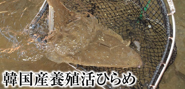 韓国産ヒラメには多数のクドア・セプテンプンクタータ(寄生虫)が頻繁に寄生しており、日本で食中毒を頻発させている!