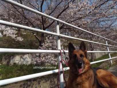 いつもの桜2019