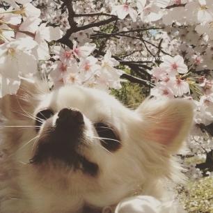 ぷーと桜2019