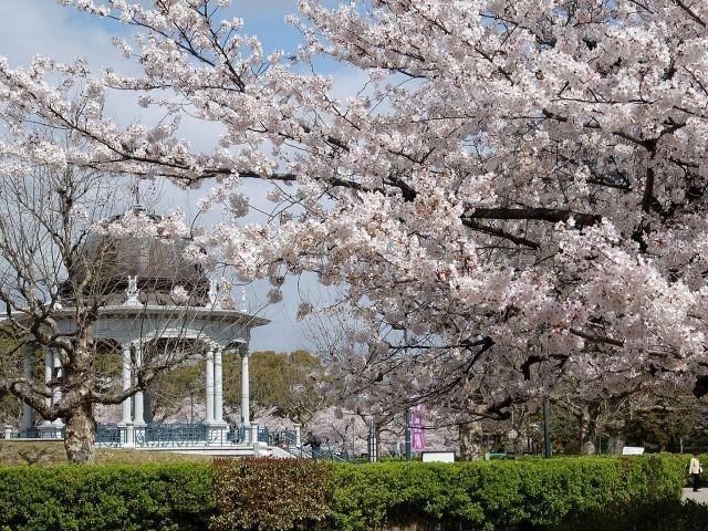 鶴舞公園の桜