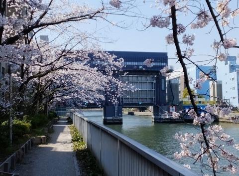 新小名木川水門と桜並木