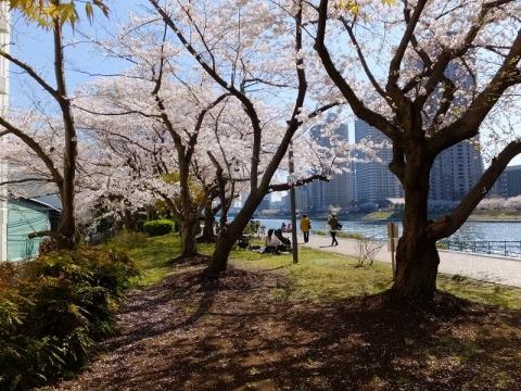越中島の桜並木