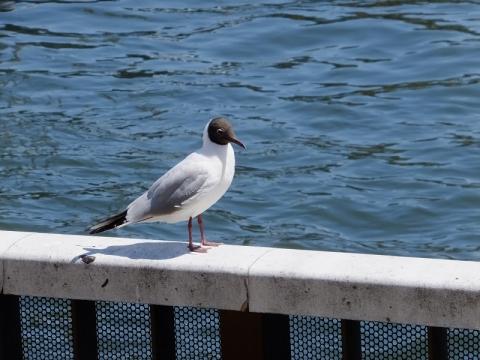 隅田川吾妻橋付近の水鳥