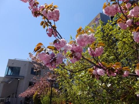 隅田川吾妻橋付近の八重桜