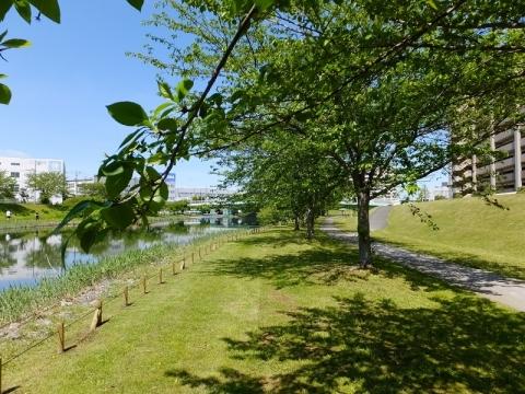 旧中川の桜並木
