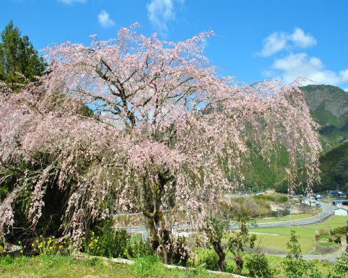 枝垂桜近景