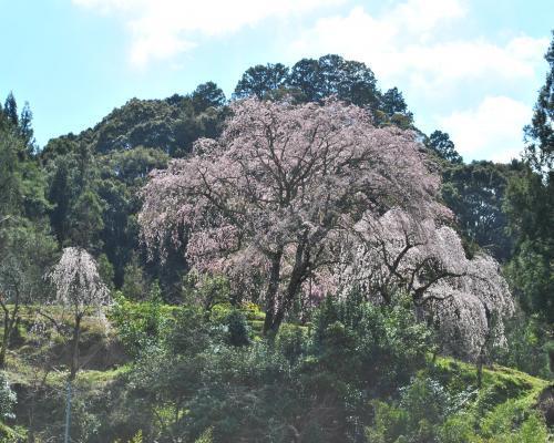 枝垂桜遠景
