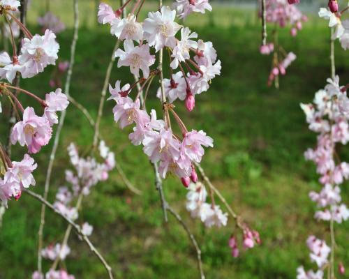 枝垂桜の花