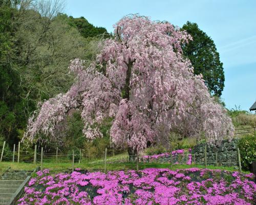 奈良野天満桜