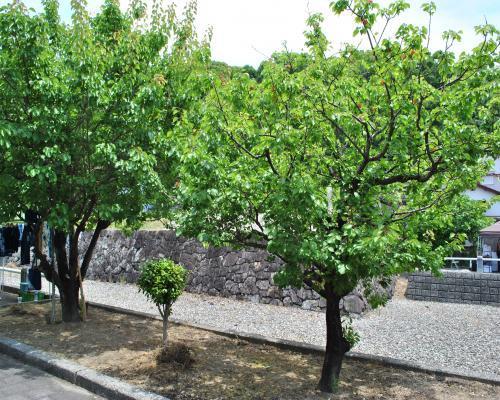 アンズの木