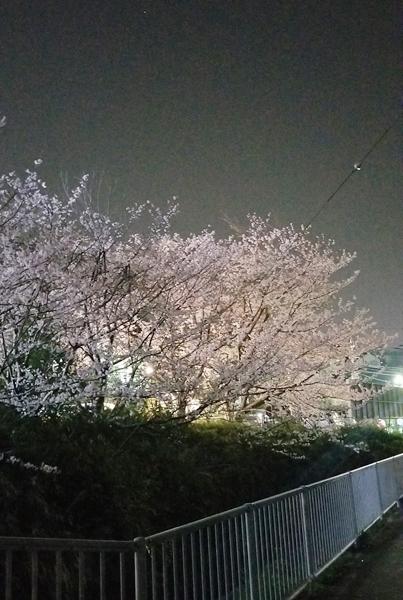2019-4遊歩道の桜2
