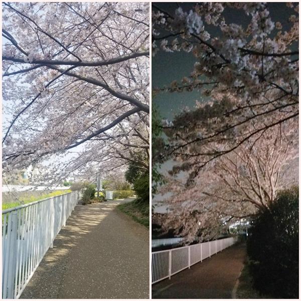 2019-4遊歩道の桜