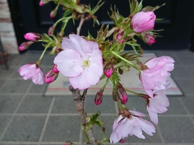 sakura_asahi2_190415a.jpg