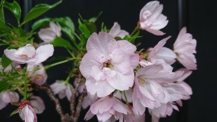 sakura_asahi2_190419a.jpg