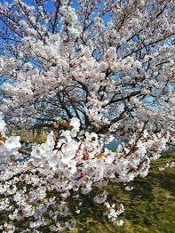 豊橋市賃貸桜