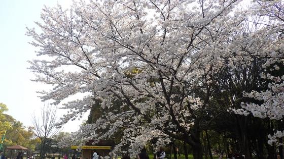 大泉緑地の桜 2019 ソメイヨシノ(わんぱくランドにて撮影)