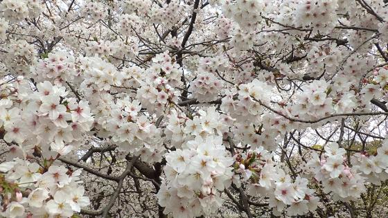 大泉緑地の桜 2019 ソメイヨシノ(桜広場にて撮影 その1)
