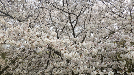 大泉緑地の桜 2019 ソメイヨシノ(桜広場にて撮影 その4)