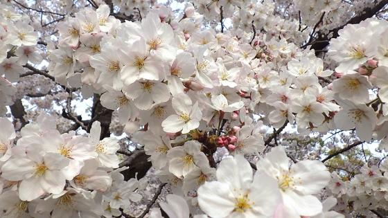 大泉緑地の桜 2019 ソメイヨシノ(桜広場にて撮影 その6)