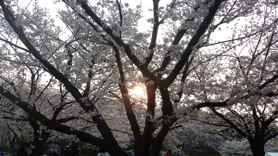 大泉緑地の桜 2019 ソメイヨシノ(桜広場にて撮影 その7)