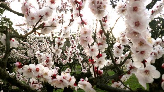 ばいりん! 大阪城梅林 2019 Part6 豊後(ぶんご) その5