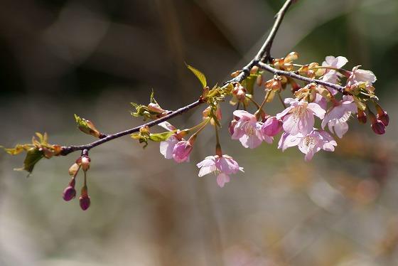 190309早咲き桜