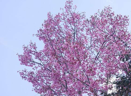 190331駅前の早咲き桜-1