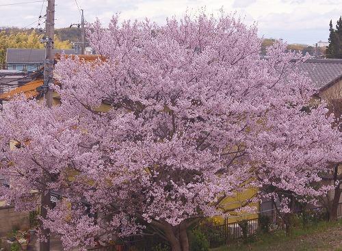 190331駅前の早咲き桜-2