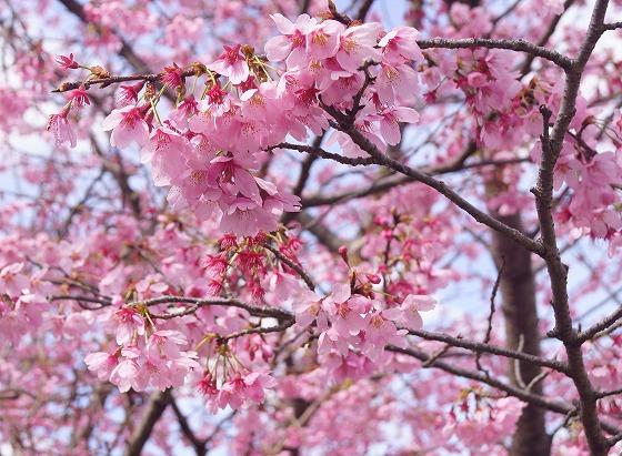 190331駅前の早咲き桜-3