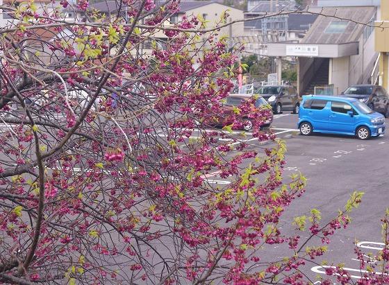 190331駅前の早咲き桜-4