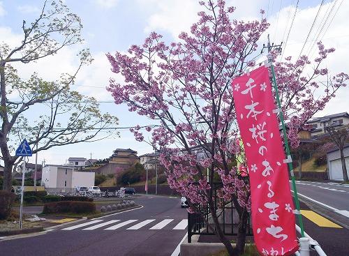 190331駅前の早咲き桜-5