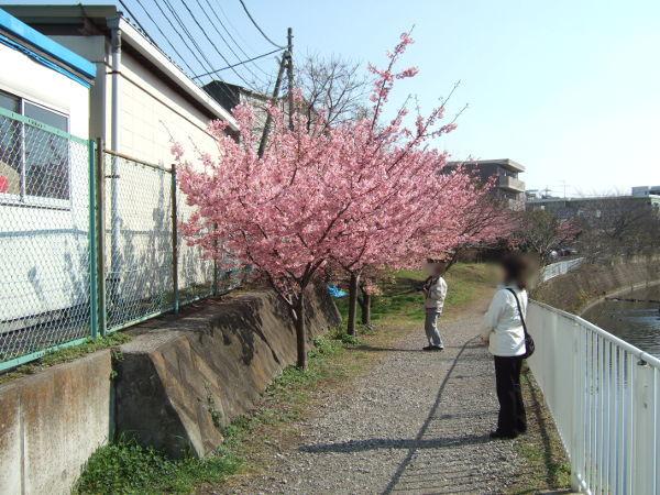 平戸永谷川桜入り口02