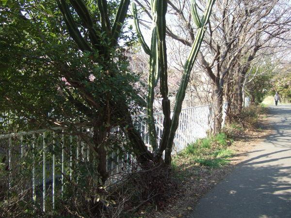 平戸永谷川桜入り口06