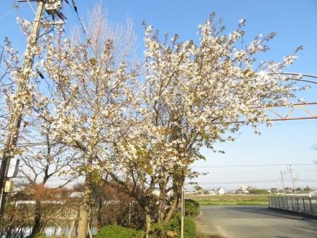 運動公園桜 2019-03-15 002
