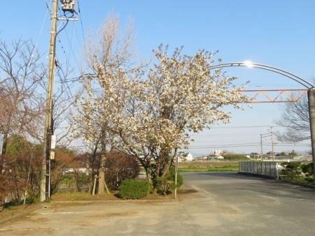 運動公園桜 2019-03-15 004
