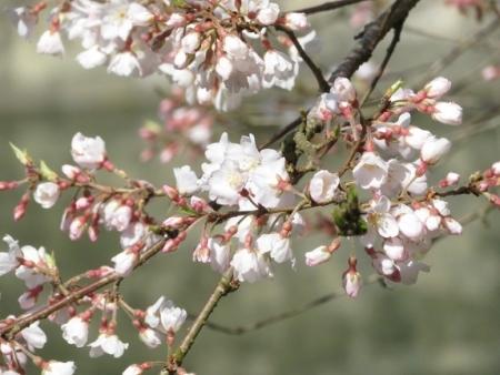 つばきがはな林道 2019-03-17 114