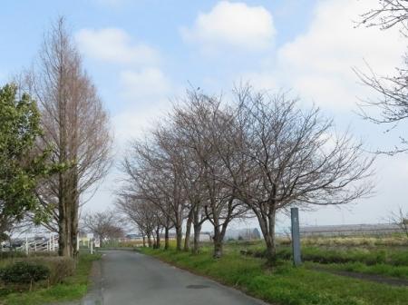 蕾ソメイヨシノ桜 2019-03-21 055