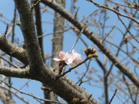 蕾ソメイヨシノ桜 2019-03-21 051