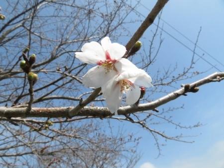 蕾ソメイヨシノ桜 2019-03-21 036