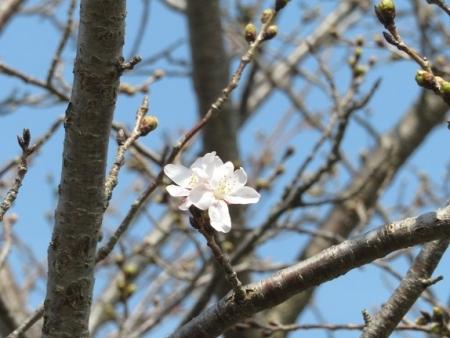 蕾ソメイヨシノ桜 2019-03-21 039
