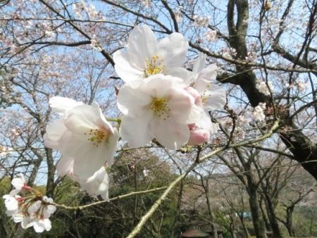 女山の桜 2019-03-26 037